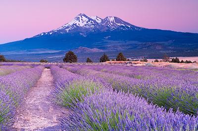 Lavender Farm near Mt  Shasta | Srividya Narasimhan's Blog